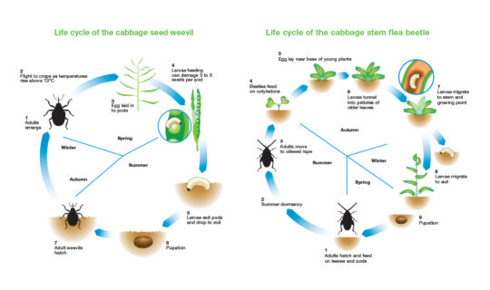 Pest life cycles