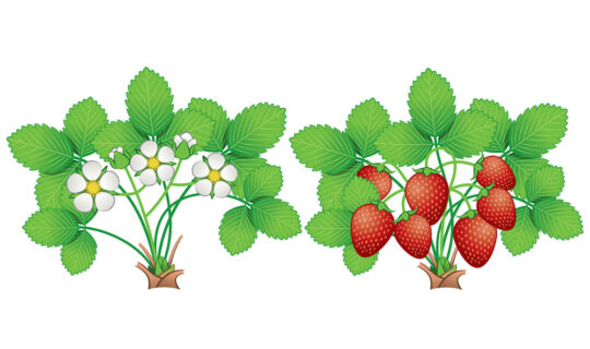 strawberry_stages